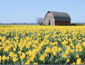 daffodile-2
