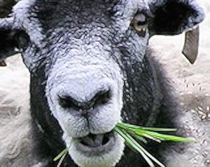Pic of sheep